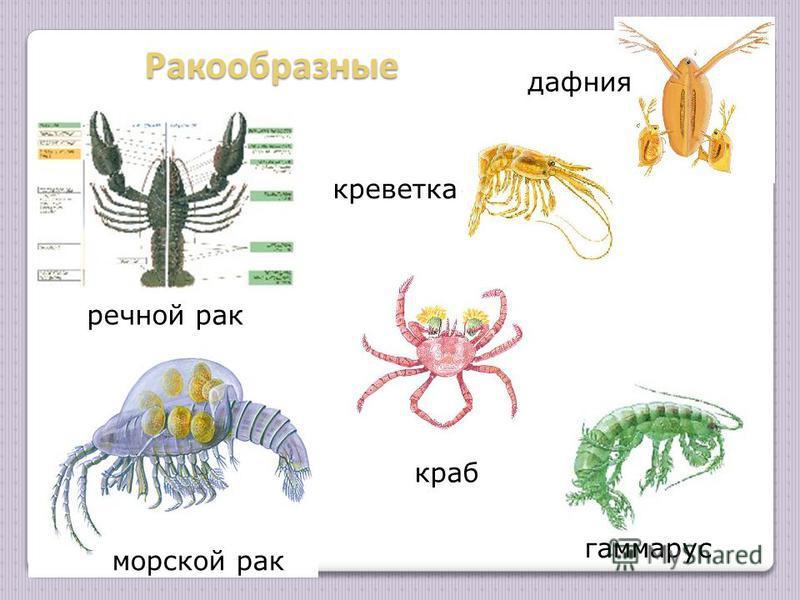 Ракообразные Ракообразные гаммарус речной рак морской рак краб креветка дафния