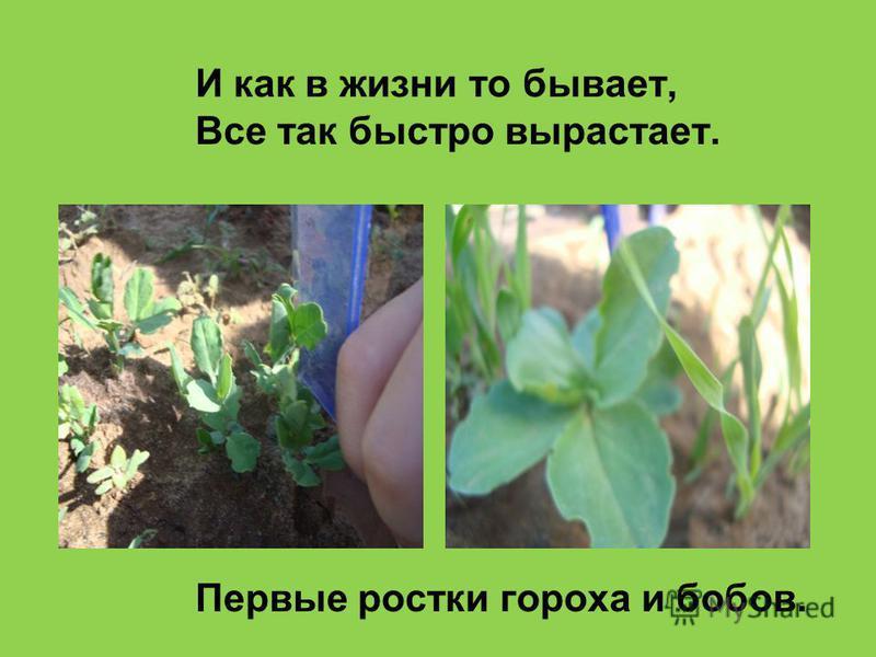 И как в жизни то бывает, Все так быстро вырастает. Первые ростки гороха и бобов.