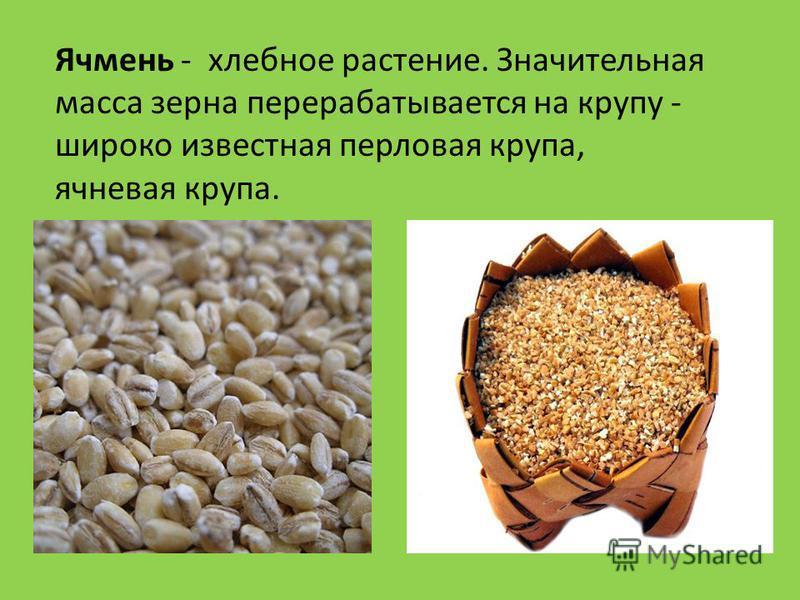 Ячмень - хлебное растение. Значительная масса зерна перерабатывается на крупу - широко известная перловая крупа, ячневая крупа.