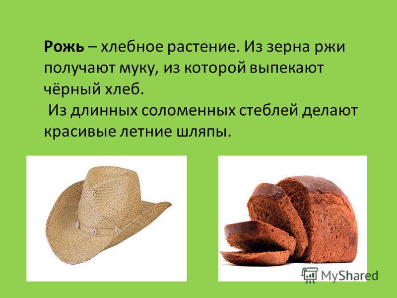 Рожь – хлебное растение. Из зерна ржи получают муку, из которой выпекают чёрный хлеб. Из длинных соломенных стеблей делают красивые летние шляпы.