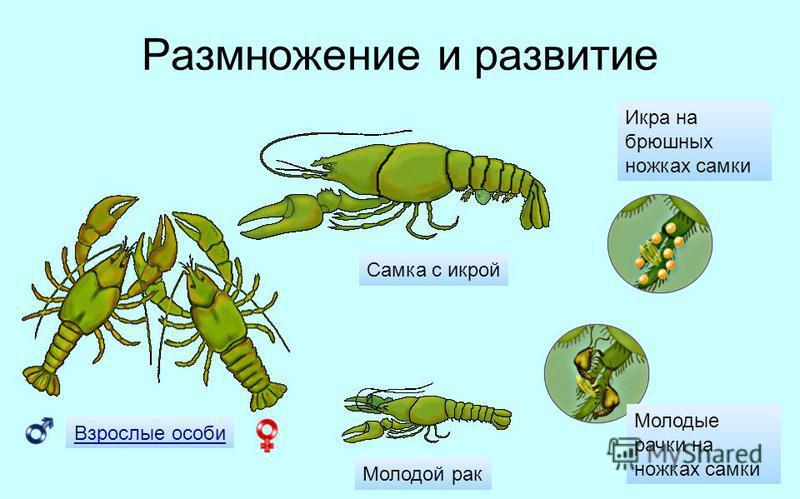 Размножение и развитие Взрослые особи Самка с икрой Молодые рачки на ножках самки Икра на брюшных ножках самки Молодой рак