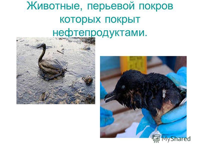 Животные, перьевой покров которых покрыт нефтепродуктами.
