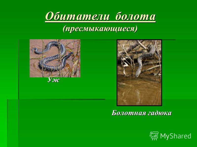 Обитатели болота (пресмыкающиеся) Уж Уж Болотная гадюка Болотная гадюка