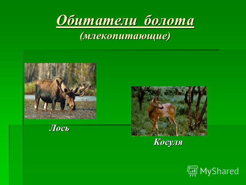 Обитатели болота (млекопитающие) Лось Косуля Косуля