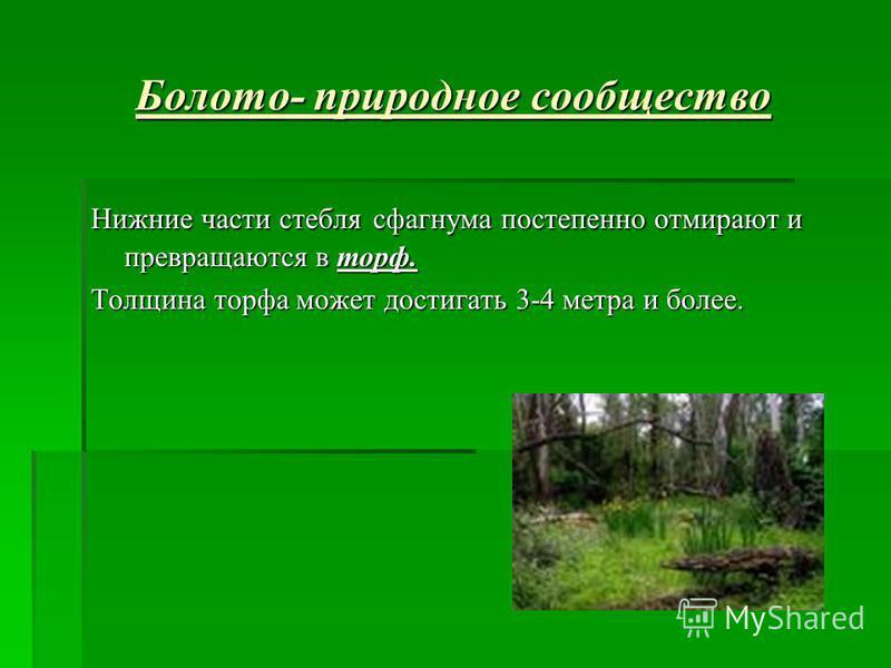 Болото- природное сообщество Нижние части стебля сфагнума постепенно отмирают и превращаются в торф. Толщина торфа может достигать 3-4 метра и более.