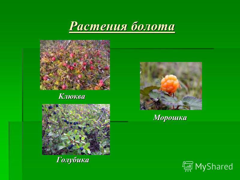 Растения болота Клюква Клюква Морошка Морошка Голубика Голубика