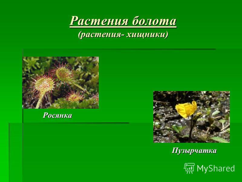 Растения болота (растения- хищники) Росянка Росянка Пузырчатка Пузырчатка