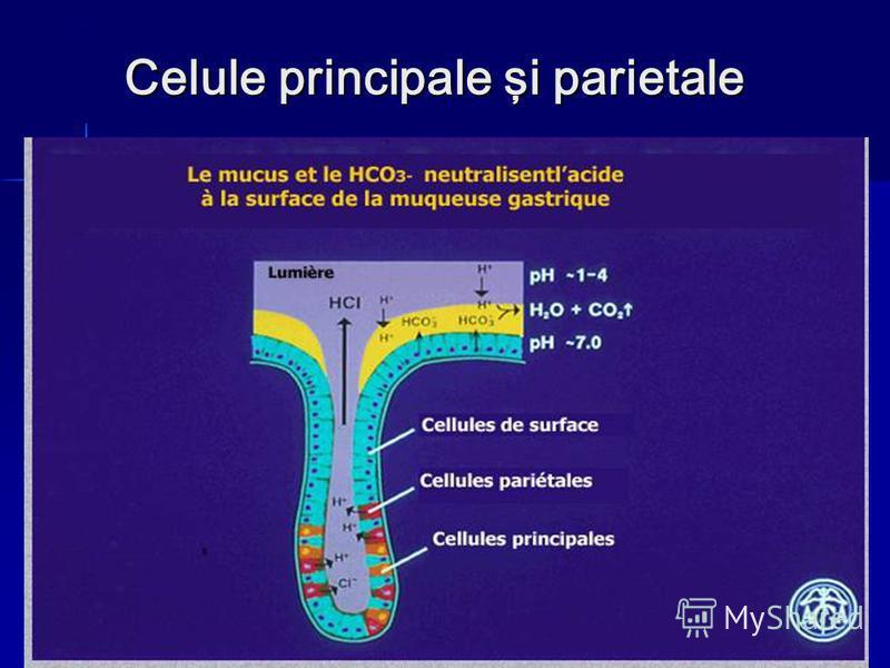 Celule principale şi parietale
