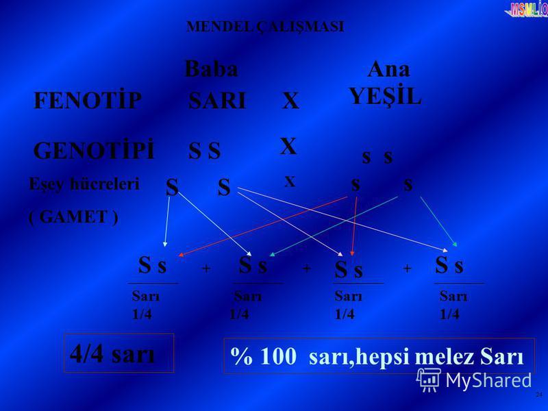24 MENDEL ÇALIŞMASI Baba Ana FENOTİPSARI YEŞİL X GENOTİPİS s Eşey hücreleri ( GAMET ) S X s S s + + + Sarı 1/4 % 100 sarı,hepsi melez Sarı X S s 4/4 sarı