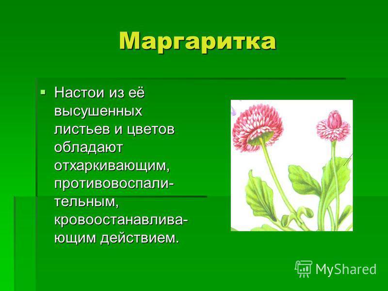 Маргаритка Настои из её высушенных листьев и цветов обладают отхаркивамомоющим, противовоспалительным, кровоостанавлива- момоющим действием. Настои из её высушенных листьев и цветов обладают отхаркивамомоющим, противовоспалительным, кровоостанавлива-