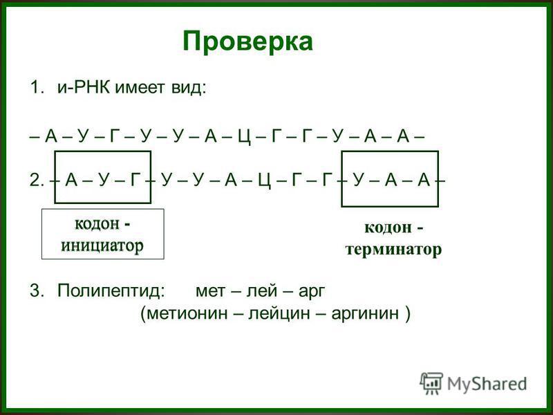 Проверка 1.и-РНК имеет вид: – А – У – Г – У – У – А – Ц – Г – Г – У – А – А – 2. – А – У – Г – У – У – А – Ц – Г – Г – У – А – А – 3.Полипептид:мет – лей – арг (метионин – лейцин – аргинин ) (метионин – лейцин – аргинин ) кодон - инициатор кодон - те