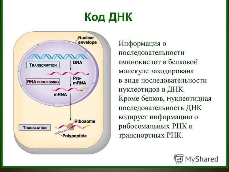 Код ДНК Информация о последовательности аминокислот в белковой молекуле закодирована в виде последовательности нуклеотидов в ДНК. Кроме белков, нуклеотидная последовательность ДНК кодирует информацию о рибосомальных РНК и транспортных РНК.