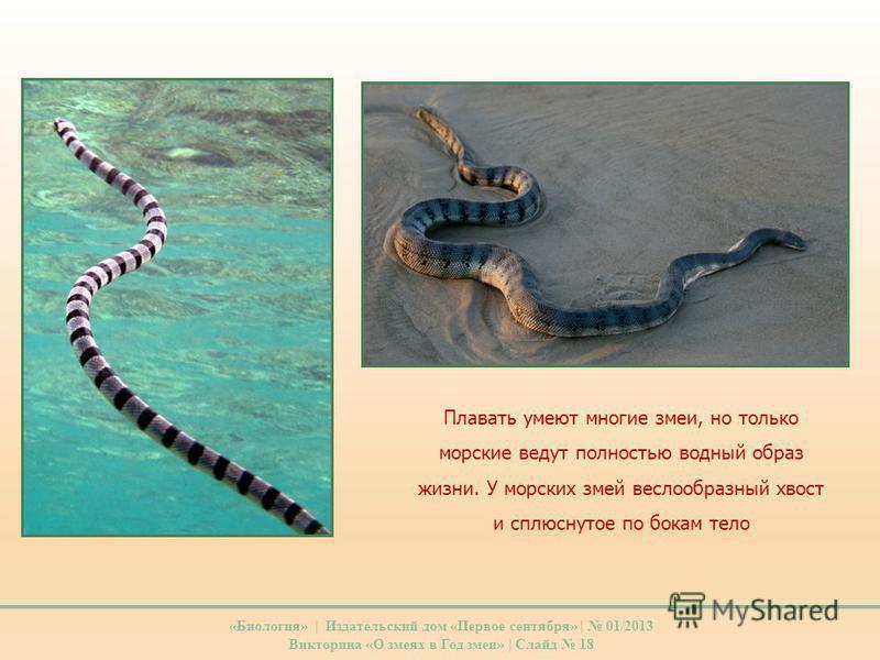 Плавать умеют многие змеи, но только морские ведут полностью водный образ жизни. У морских змей веслообразный хвост и сплюснутое по бокам тело «Биология» | Издательский дом «Первое сентября» | 01/2013 Викторина «О змеях в Год змеи» | Слайд 18