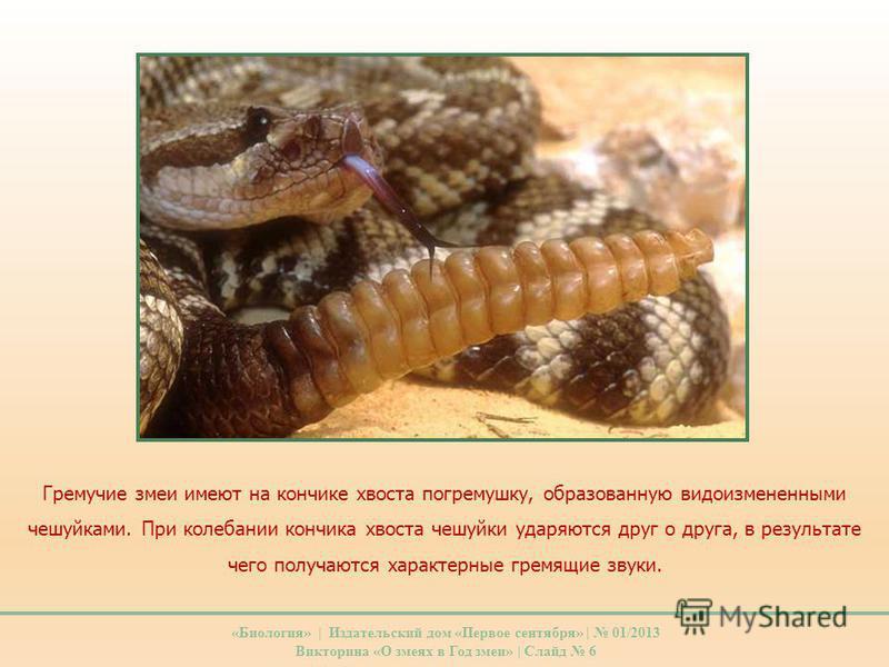 Гремучие змеи имеют на кончике хвоста погремушку, образованную видоизмененными чешуйками. При колебании кончика хвоста чешуйки ударяются друг о друга, в результате чего получаются характерные гремящие звуки. «Биология» | Издательский дом «Первое сент