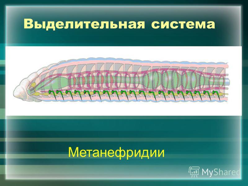 Выделительная система Метанефридии