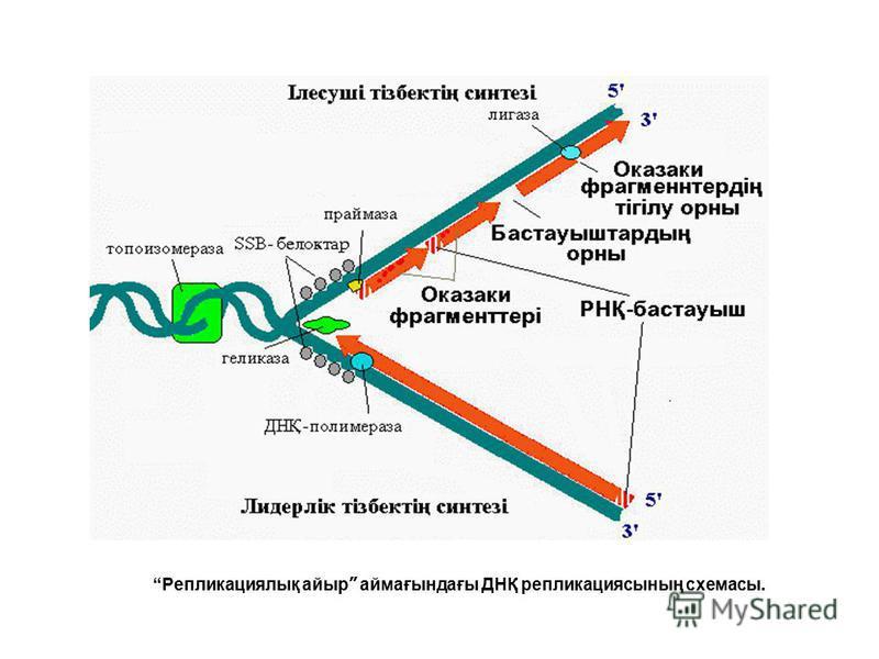 Репликациялық айыр аймағындағы ДНҚ репликациясының схемасы.