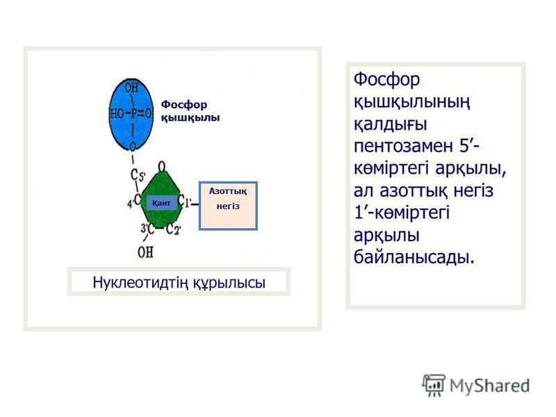 Нуклеотидтің құрылысы Фосфор қышқылы Қант Азоттық негіз Фосфор қышқылының қалдығы пентозамен 5- көміртегі арқылы, ал азоттық негіз 1-көміртегі арқылы байланысады.