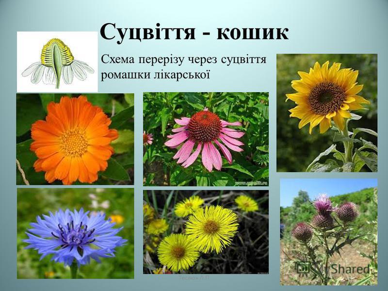 Суцвіття - кошик Схема перерізу через суцвіття ромашки лікарської Теслюк Л.П
