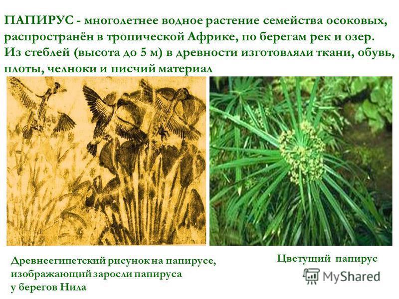 ПАПИРУС - многолетнее водное растение семейства осоковых, распространён в тропической Африке, по берегам рек и озер. Из стеблей (высота до 5 м) в древности изготовляли ткани, обувь, плоты, челноки и писчий материал Древнеегипетский рисунок на папирус