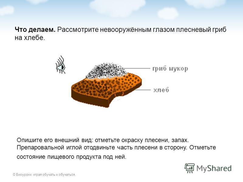 © Биоуроки: играя обучать и обучаться. Что делаем. Рассмотрите невооружённым глазом плесневый гриб на хлебе. Опишите его внешний вид: отметьте окраску плесени, запах. Препаровальной иглой отодвиньте часть плесени в сторону. Отметьте состояние пищевог