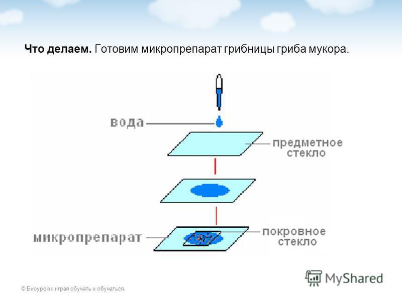 © Биоуроки: играя обучать и обучаться. Что делаем. Готовим микропрепарат грибницы гриба мукора.