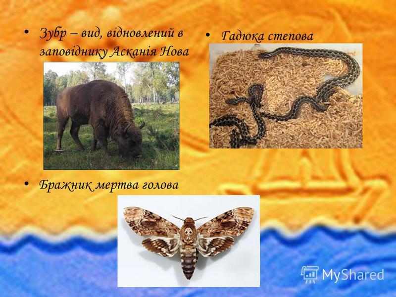 Зубр – вид, відновлений в заповіднику Асканія Нова Бражник мертва голова Гадюка степова