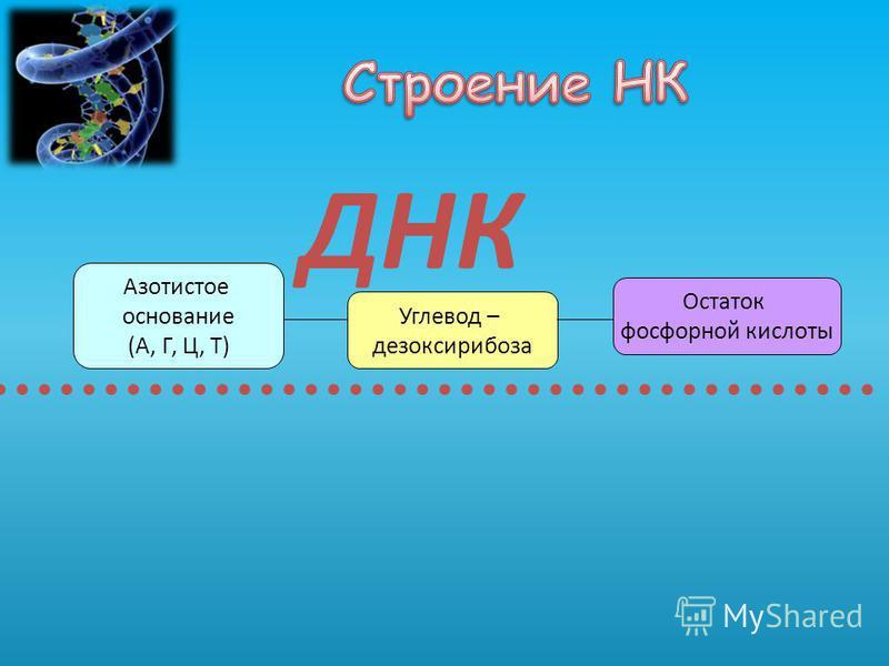 Углевод – дезоксирибоза ДНК Азотистое основание (А, Г, Ц, Т) Остаток фосфорной кислоты