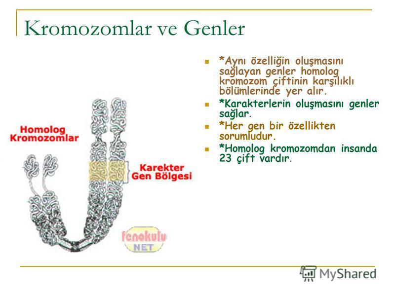Kromozomlar ve Genler *Aynı özelliğin oluşmasını sağlayan genler homolog kromozom çiftinin karşılıklı bölümlerinde yer alır. *Karakterlerin oluşmasını genler sağlar. *Her gen bir özellikten sorumludur. *Homolog kromozomdan insanda 23 çift vardır.