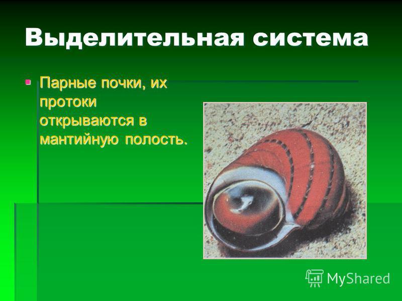 Дыхательная система Жабры Жабры (улитки) (улитки) Лёгкие (наземные виды) Лёгкие (наземные виды) Желудочек предсердие легкое