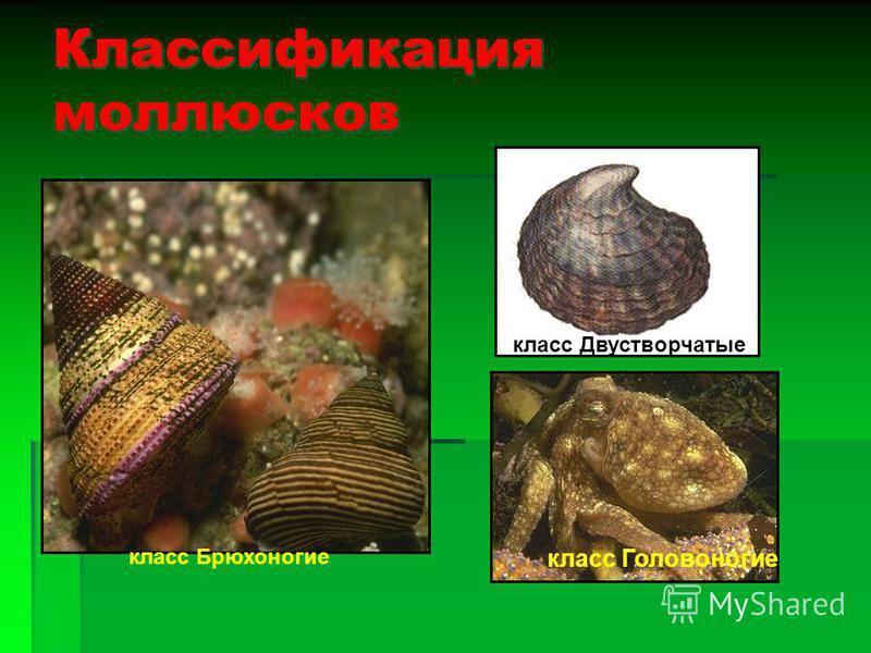 Тип Моллюски Тема урока: Общая характеристика моллюсков