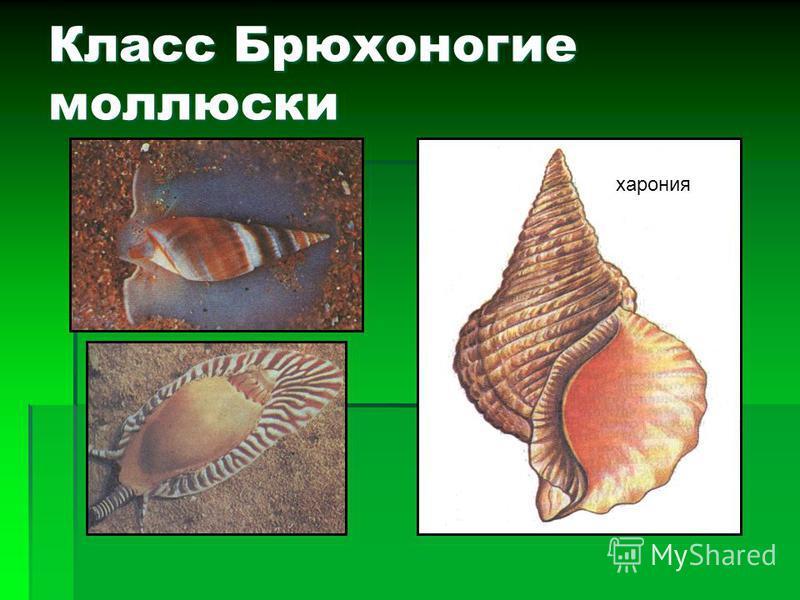 Классификация моллюсков класс Головоногие класс Брюхоногие класс Двустворчатые