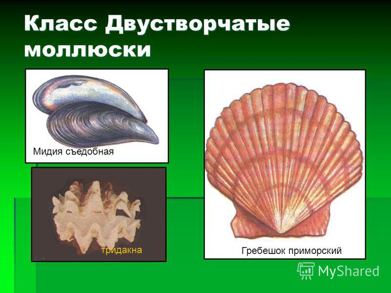 Класс Брюхоногие моллюски харония