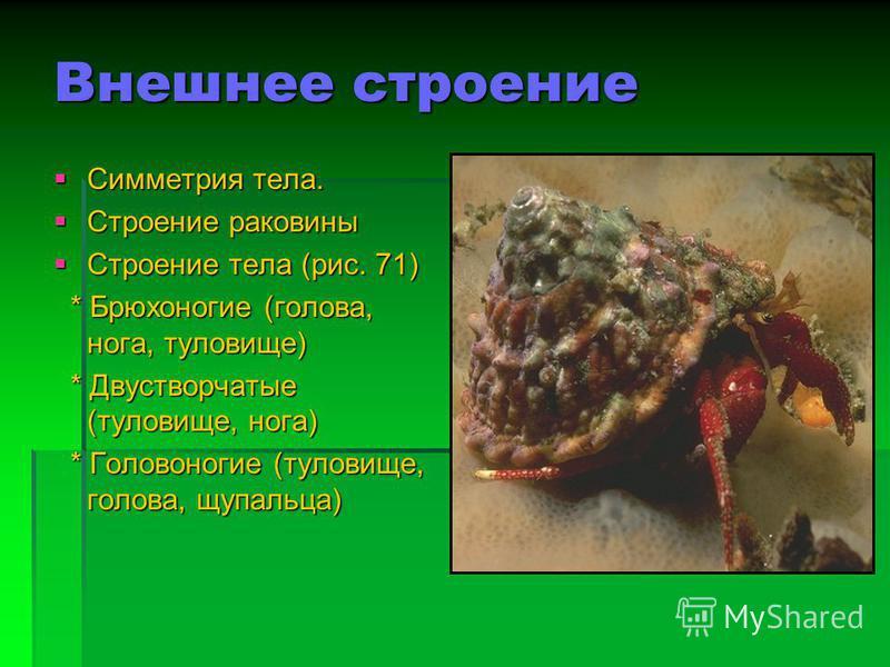 Питание Брюхоногие: растения, различные растительные остатки. Брюхоногие: растения, различные растительные остатки. Двустворчатые: органические частицы и микроорганизмы. Двустворчатые: органические частицы и микроорганизмы. Головоногие: крабы, рыбы,