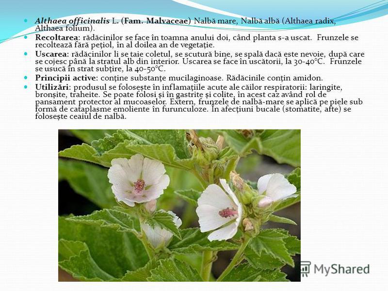 Althaea officinalis L. (Fam. Malvaceae) Nalb ă mare, Nalb ă alb ă (Althaea radix, Althaea folium). Recoltarea: r ă d ă cinilor se face în toamna anului doi, când planta s-a uscat. Frunzele se recolteaz ă f ă r ă peţiol, în al doilea an de vegetaţie.