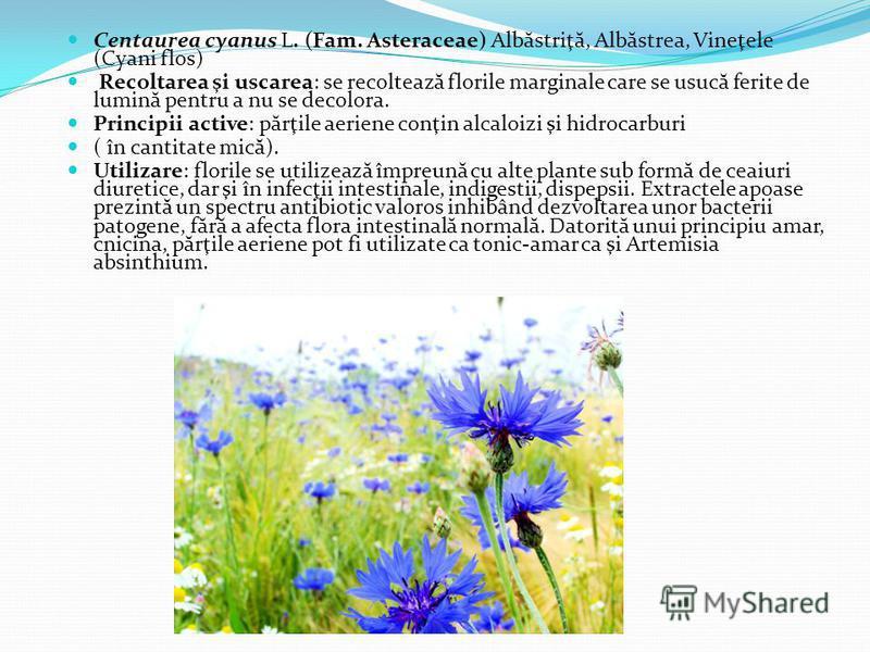 Centaurea cyanus L. (Fam. Asteraceae) Alb ă striţ ă, Alb ă strea, Vineţele (Cyani flos) Recoltarea şi uscarea: se recolteaz ă florile marginale care se usuc ă ferite de lumin ă pentru a nu se decolora. Principii active: p ă rţile aeriene conţin alcal