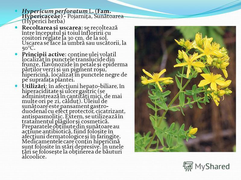 Hypericum perforatum L. (Fam. Hypericaceae) - Pojarniţa, Sun ă toarea (Hyperici herba) Recoltarea şi uscarea: se recolteaz ă între începutul şi toiul înfloririi cu cositori reglate la 30 cm. de la sol. Uscarea se face la umbr ă sau usc ă torii, la 50