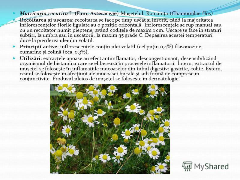 Matricaria recutita L. (Fam. Asteraceae) Muşeţelul, Romaniţa (Chamomilae flos) Recoltarea şi uscarea: recoltarea se face pe timp uscat şi însorit, când la majoritatea inflorescenţelor florile ligulate au o poziţie orizontal ă. Inflorescenţele se rup
