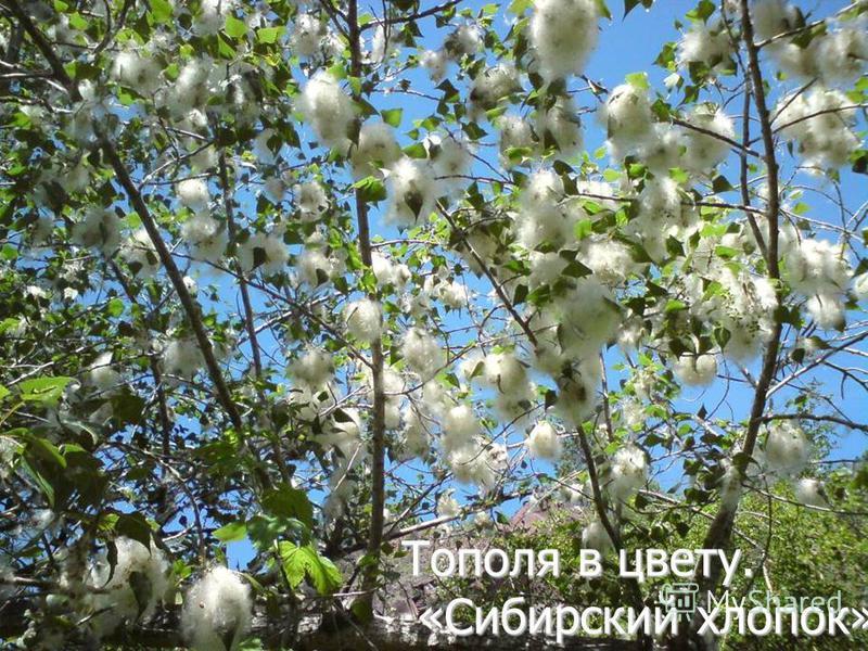 Тополя в цвету. «Сибирский хлопок».