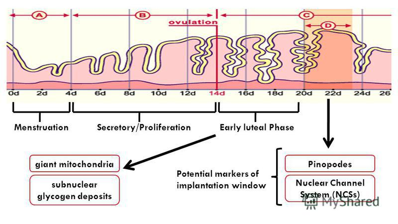 Pinopodes Nuclear Channel System (NCSs) Early luteal Phase Potential markers of implantation window MenstruationSecretory/Proliferation giant mitochondria subnuclear glycogen deposits