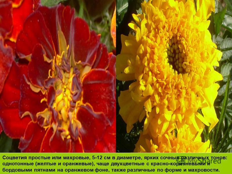 Соцветия простые или махровые, 5-12 см в диаметре, ярких сочных различных тонов: однотонные (желтые и оранжевые), чаще двухцветные с красно-коричневыми и бордовыми пятнами на оранжевом фоне, также различные по форме и махровости.