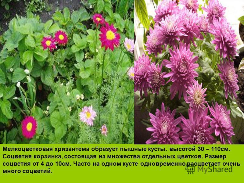 Мелкоцветковая хризантема образует пышные кусты. высотой 30 – 110 см. Соцветия корзинка, состоящая из множества отдельных цветков. Размер соцветия от 4 до 10 см. Часто на одном кусте одновременно расцветает очень много соцветий.