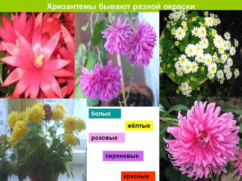 Хризантемы бывают разной окраски красные белые сиреневые розовые жёлтые