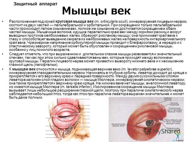 Защитный аппарат Расположенная под кожей круговая мышца век (m. orbicularis oculi), иннервируемая лицевым нервом, состоит из двух частей пальпебральной и орбитальной. При сокращении только пальпебральной части происходит легкое смыкание век, полное ж