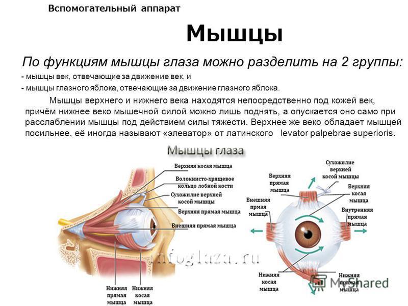 Вспомогательный аппарат По функциям мышцы глаза можно разделить на 2 группы: - мышцы век, отвечающие за движение век, и - мышцы глазного яблока, отвечающие за движение глазного яблока. Мышцы верхнего и нижнего века находятся непосредственно под кожей