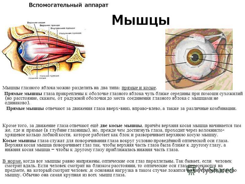 Вспомогательный аппарат Мышцы глазного яблока можно разделить на два типа : прямые и косые. Прямые мышцы глаза прикреплены к оболочке глазного яблока чуть ближе середины при помощи сухожилий ( но расстояние, скажем, от радужной оболочки до места соед