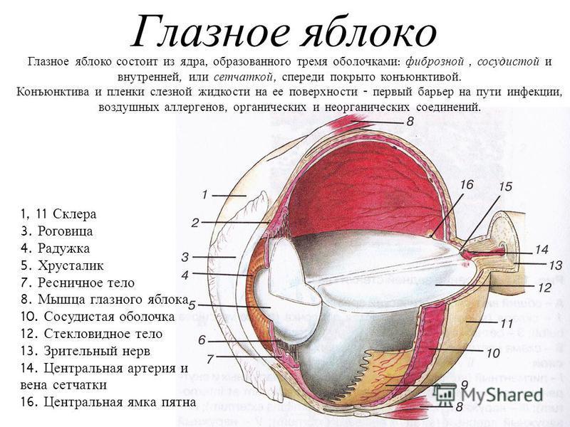 Глазное яблоко 1, 11 Склера 3. Роговица 4. Радужка 5. Хрусталик 7. Ресничное тело 8. Мышца глазного яблока 10. Сосудистая оболочка 12. Стекловидное тело 13. Зрительный нерв 14. Центральная артерия и вена сетчатки 16. Центральная ямка пятна Глазное яб