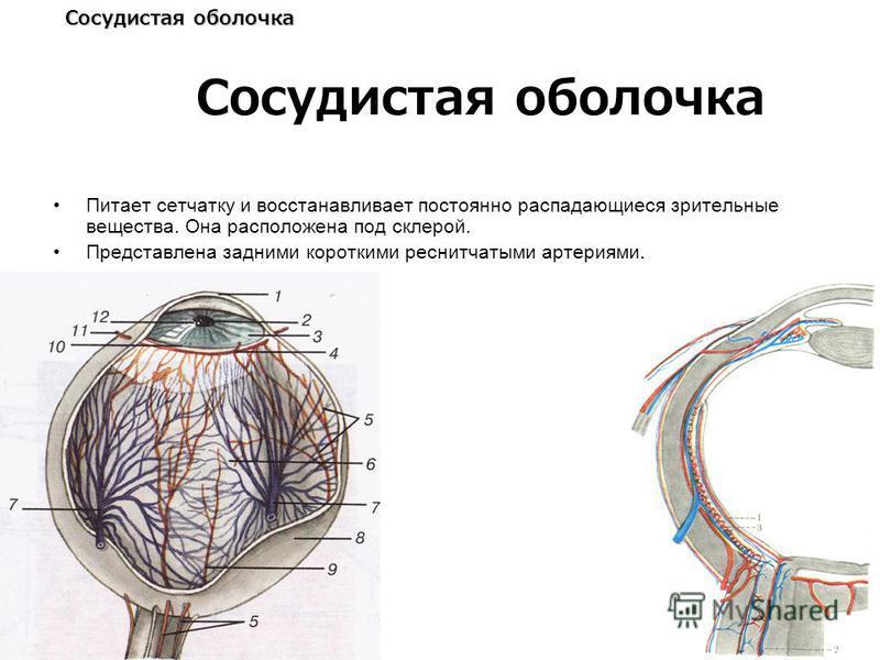 Сосудистая оболочка Питает сетчатку и восстанавливает постоянно распадающиеся зрительные вещества. Она расположена под склерой. Представлена задними короткими реснитчатыми артериями.