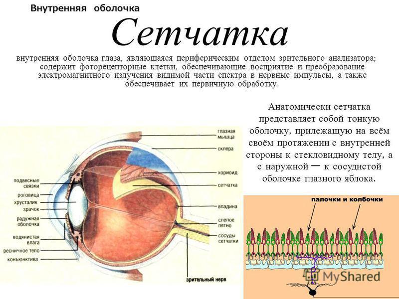 Сетчатка внутренняя оболочка глаза, являющаяся периферическим отделом зрительного анализатора ; содержит фоторецепторные клетки, обеспечивающие восприятие и преобразование электромагнитного излучения видимой части спектра в нервные импульсы, а также
