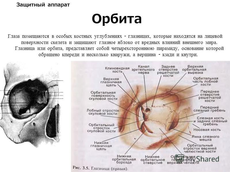 Защитный аппарат Глаза помещаются в особых костных углублениях - глазницах, которые находятся на лицевой поверхности скелета и защищают глазное яблоко от вредных влияний внешнего мира. Глазница или орбита, представляет собой четырехстороннюю пирамиду