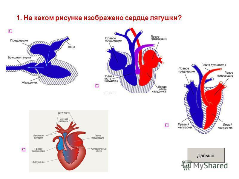 1. На каком рисунке изображено сердце лягушки?